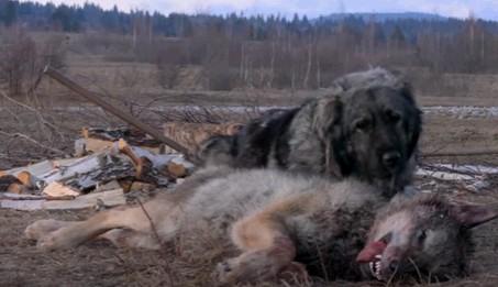 Грамп победил волка