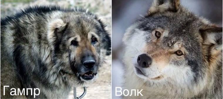 Гампр и волк