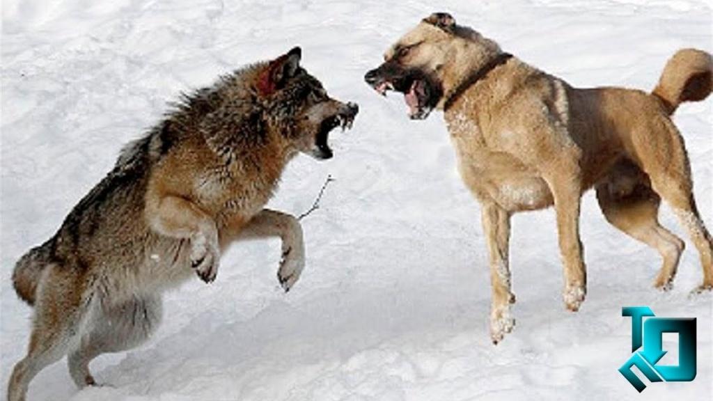 Схватка с армянским волкодавом