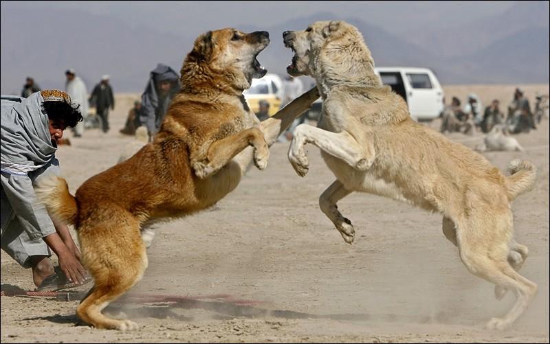 Собачий бой с грампами